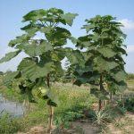 Trồng Paulownia ( cây Hông ) lợi nhuận cao