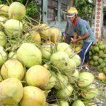 Giá Bưởi, Dừa tại vườn cao kỷ lục nhưng vẫn khan hàng