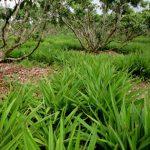 Kĩ thuật trồng chăm sóc cây Hương Bài - a3 150x150