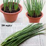 Các trồng hành lá tại nhà - Mách bạn 3 cách trồng hành lá sạch - ba cach trong hanh la tai gia cho ca nha an chang het 11 1462635299 width502height669 150x150