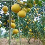 Sáng kiến vàng của vua bưởi da xanh Chợ Lách - bac giang 3 jpg 150x150