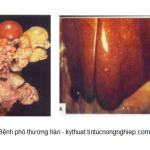 Hướng dẫn cách điều trị bệnh phó thương hàn trên vịt - benh 1 1 150x150