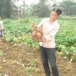 Bón phân đa yếu tố NPK Văn Điển cho cây khoai lang - bon phan da yeu to npk van dien cho cay khoai lang 150x150