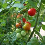 Hướng dẫn cách ghép cà chua trên gốc cà tím - ca chua 150x150