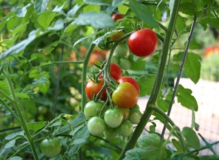 Hướng dẫn cách ghép cà chua trên gốc cà tím - ca chua