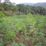Cà Mau: Trồng rừng thâm canh tăng hiệu quả kinh tế