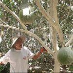 Cách tiêu diệt sâu đục trái bưởi bằng nước vôi