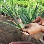Cách trồng cây nha đam thu hái lá - cach trong cay nha dam thu hai la 150x150