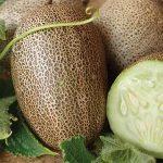 Cách trồng Dưa Chuột khoai tây tại nhà cho quả đẹp, vị ngon