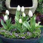 Cách trồng hoa Tulip trong nước cực đơn giản cho nhà thêm lung linh