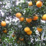 Kỹ thuật trồng cây cam Vinh - cam vinh nghe an 150x150
