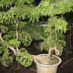 Kỹ thuật trồng cây đinh lăng - cay dinh lang 150x150