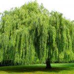 Trồng cây liễu - nguồn nhiên liệu sinh học với chi phí thấp - cay lieu ru 150x150
