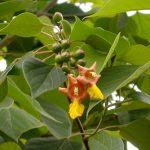 Kỹ thuật trồng cây Lõi thọ