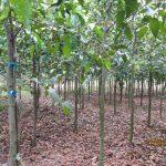 Kỹ thuật trồng rừng sao đen - cay sao den 1 150x150