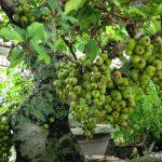 Kỹ thuật trồng và chăm sóc cây sung cảnh ra quả - cay sung sai qua 150x150