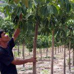 Một số nét cơ bản về kỹ thuật trồng và chăm sóc cây Trôm - cay trom 150x150
