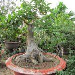 Trồng cây ổi làm cảnh, ổi bonsai