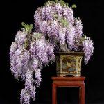 Cách trồng cây hoa Tử đằng – Wisteria từ hạt