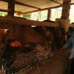 Được xuất ngoại nhờ... giỏi nuôi bò - chan nuoi bo 1462326291 150x150