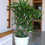 Hướng dẫn chăm sóc cây mật cật - chau cay mat cat 150x150