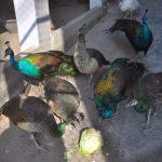 Kỹ thuật chăm sóc chim công