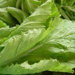 Vị thuốc từ cây Cải bẹ xanh - cong dung cai xanh 1411636114 150x150