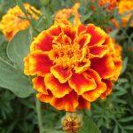 Kỹ thuật trồng Cúc vạn thọ Pháp - cuc van tho phap 150x150