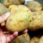 Vì sao khoai tây mọc mầm gây độc cho cơ thể?