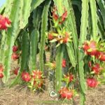 Kỹ thuật trồng và chăm sóc thanh long ruột đỏ