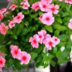 Cách trồng và chăm sóc cây hoa dừa cạn - dua can 150x150