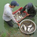 Kỹ thuật nuôi cá thát lát cườm ghép cá sặc rằn