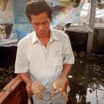 Chất progesteron kích thích ếch Thái Lan sinh sản năng suất cao