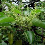 Kỹ thuật trồng cây Vạng trứng - endospermum chinense 150x150