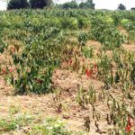 Cách phòng trừ bệnh hại chính trên cây ớt - h12a 150x150