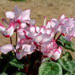 Cách chăm sóc hoa anh thảo nở đẹp và không mắc bệnh - hoa anh thao 150x150