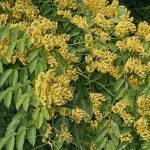 Kỹ thuật ươm trồng chăm sóc cây giáng hương - hoa cay giang huong 150x150