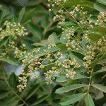 Kỹ thuật trồng cây Xà cừ lá nhỏ