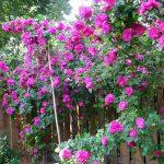 Cách trồng và chăm sóc hoa hồng leo nhập ngoại - hoa hong leo 150x150