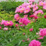 Hoa Mẫu Đơn và cách chăm sóc trong và sau Tết - hoa mau don 1 150x150