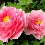 Cách trồng và chăm sóc hoa Mẫu Đơn bông lớn tại Việt Nam - hoa mau don 150x150