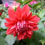Cách nhân giống và cách trồng hoa thược dược