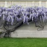 Cách chăm sóc cây hoa Tử Đằng mùa rụng lá