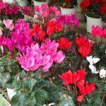 Kỹ thuật trồng và chăm sóc chậu hoa Anh Thảo ( Trâm Anh ) đẹp - hoa anh thao 150x150