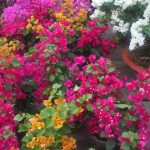 Kỹ thuật nhân giống và tạo hoa giấy nhiều màu - hoa giay nhieu mau 150x150