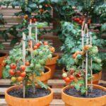 Cách trồng cà chua đơn giản giữa ban công nhà phố - hoc cach trong ca chua tu lat don gian qua do triu canh 1 150x150