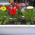 Học cách trồng hoa đồng tiền nở đẹp mĩ miều đúng dịp Tết - hoc cach trong hoa dong tien no dep mi mieu dung dip tet 150x150