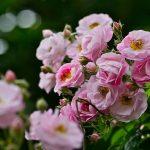 Mùa hè chăm sóc hoa hồng leo nhập khẩu như thế nào là đúng cách? - hong leo 150x150