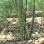 Măng tây dễ trồng, thu nhập cao - hqdefault 2 150x150