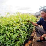 Lâm Đồng: Xác định các loài sâu hại cây lâm nghiệp - img 55f83762ace49 150x150